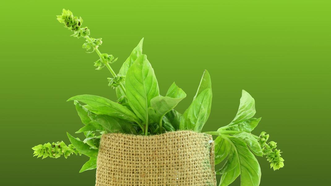 Plantele medicinale sunt mai aproape de noi decât am crede